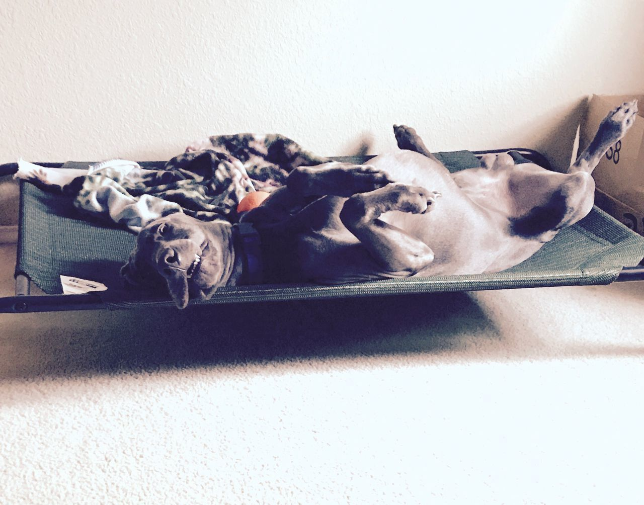 mammal, domestic animals, animal themes, dog, pets, indoors, no people, one animal, lying down, relaxation, day, close-up