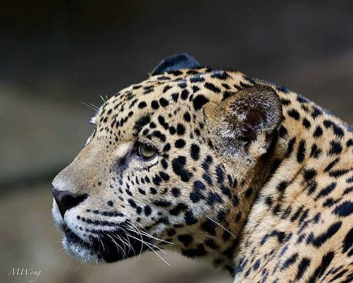 El felino màs grande de latinoamérica El Jaguar JAGUAR Felino Animal Wildlife Wildlifephotography Natgeo Natgeowild Smithsonian Nature Natureperfection Costarica Puravida Nofilter Discovery Photo