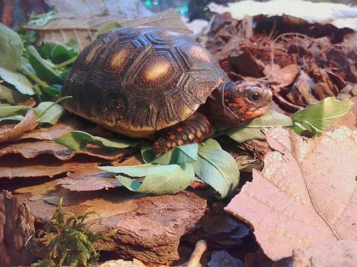 MY NEW PET !!!!!!! Pets Turtles Turtle Love Animal_collection Taking Photos Lifestyle Patasrojas Tortuga De Tierra