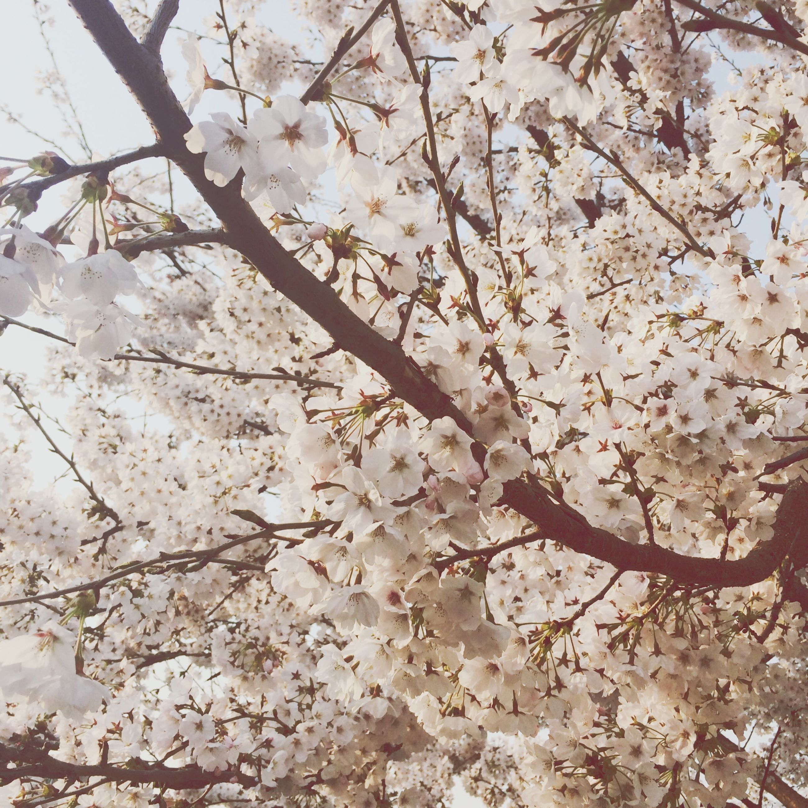 flower, branch, tree, freshness, cherry blossom, blossom, growth, low angle view, fragility, cherry tree, beauty in nature, nature, springtime, white color, in bloom, fruit tree, blooming, sky, twig, petal