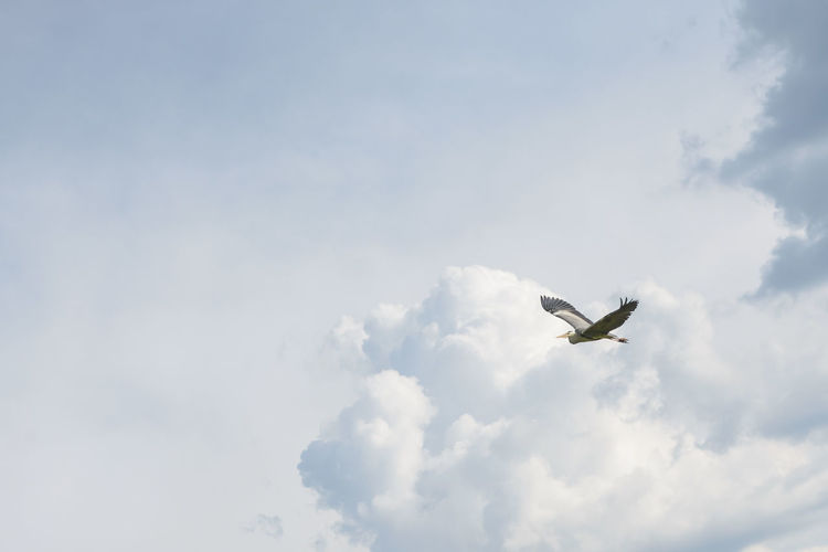 Grey Heron and