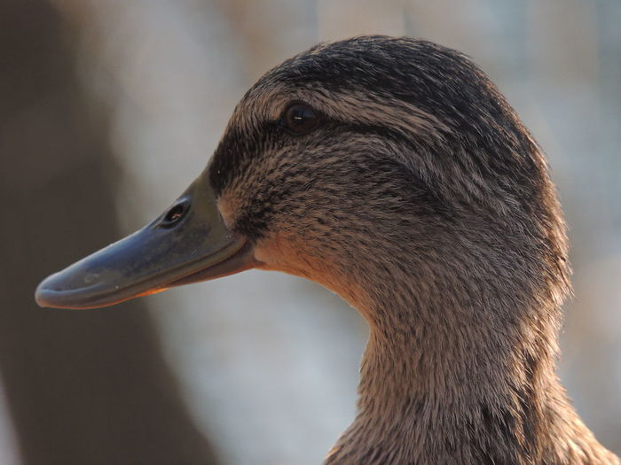 Close-up of mallard duck