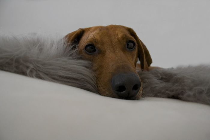 Dachshund Dackelblick Dog Dogs Domestic Animals Dreamy Looking At Camera One Animal Pampered Pets Relaxing