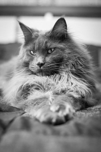 Zoolander — Grey Steel Cat Mainecoon Animal Portrait Eye4photography  EyeEm Best Shots Faces Of EyeEm Bestoftheday Cute Pets Cats Ozzy Ozzome