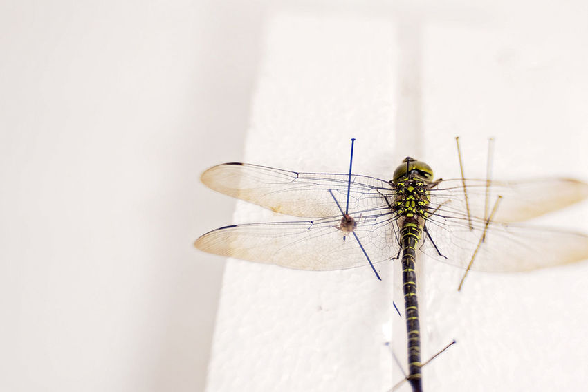 Close-up Dragonfly Insect Insect Photography Insects Collection Macro Macro Photography Odonata Wings