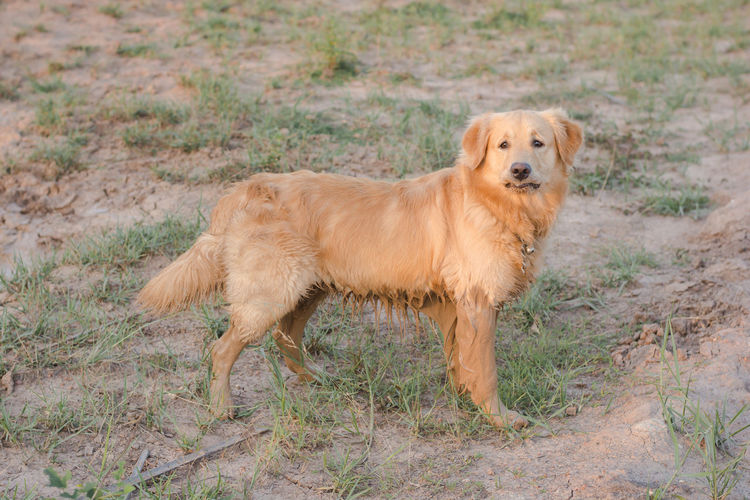 happy, muddy, and wet golden retriever in the outdoors. Adventure Animal Ball Cooling  Countryside Cute Dirt Dirty Dog Domestic Forest Fun Golden Happy Heat Hike Look Mammal Messy Mud Muddy Nature Outdoor Outdoors Outside Park Paws Pet Play Playful Playing Portrait Puddle Pure Retriever Road Sitting Vertical Water Wet Yellow One Animal Canine Pets Grass Brown Plant Day