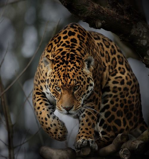 Close-up of leopard on tree trunk