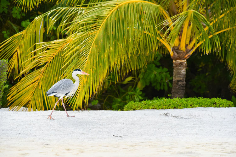 Andaaran Island Animal Animal Life Animal Themes Animal Wildlife Animals In The Wild Beach Beautiful Animals  Beautiful Nature Beauty In Nature Bird Bird Photography Egret Egret In Lake Egret With Ocean Background Egret_in_flight Fly Island Life Maldives Nature Sand Sea Sea And Sky Wildlife