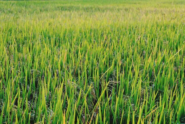 Rice fields Beauty In Nature Nature New Young Growth Rice Rice Plant Growth Growing Rice Paddy Wheat Cereal Plant Agriculture Rural Scene Field Rice - Cereal Plant Full Frame Crop  Farmland Agricultural Field Green Greenery Countryside Grassland