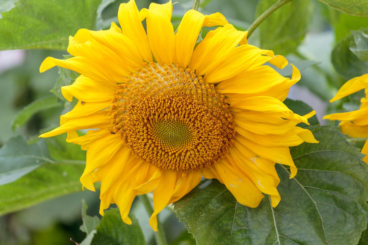 Sunflower Sunflower Close Up Yellow Flower Background Plant Blossom Golden Macro Flora Blooming Natural Nature Summer Texture Petals