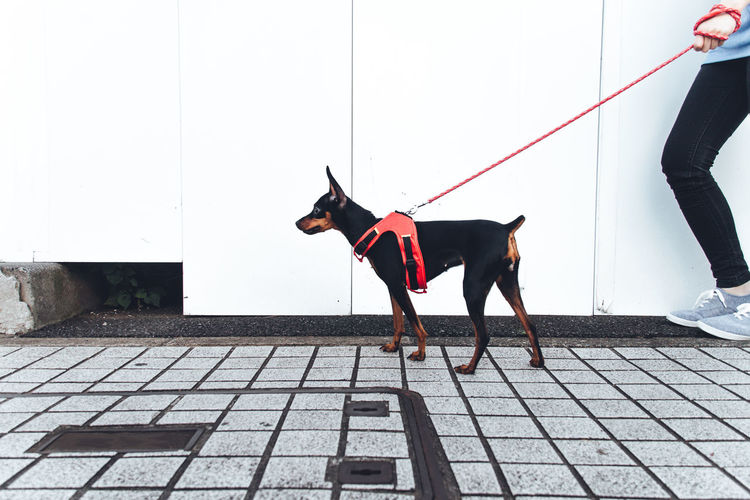 Cropped Image Of Person With Doberman Pinscher Walking On Sidewalk By Wall