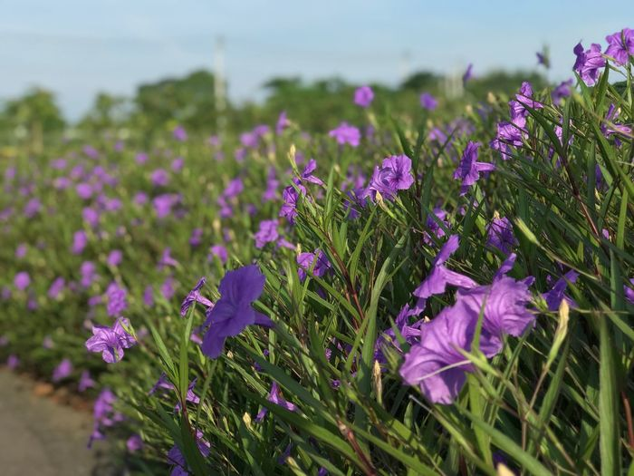 Flowering Plant Flower Plant Vulnerability  Growth Fragility Beauty In Nature Close-up Focus On Foreground Purple Petal Flower Head Freshness Nature Day Inflorescence No People Green Color Field Land