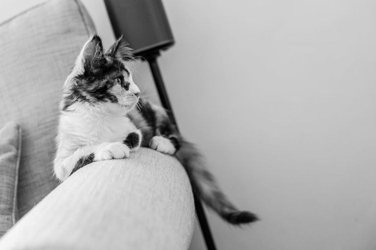 Cat Domestic Domestic Animals Domestic Cat Feline Holding Human Body Part Indoors  Mainecoon Mammal One Animal People Pet Owner Pets Selective Focus Sitting Small Vertebrate Young Animal