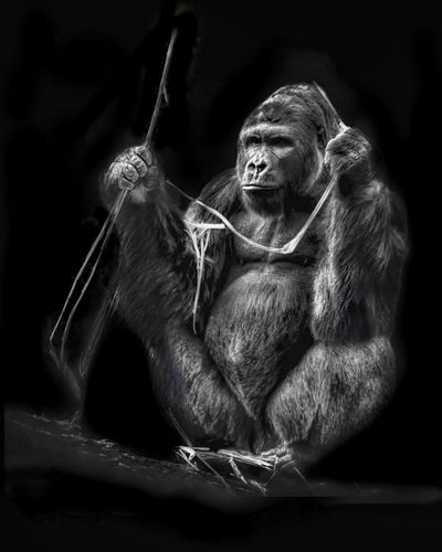 Mrs. Gorilla Animal Themes Apple Black Background Dark Eating Female Gorilla Silverback Gorilla