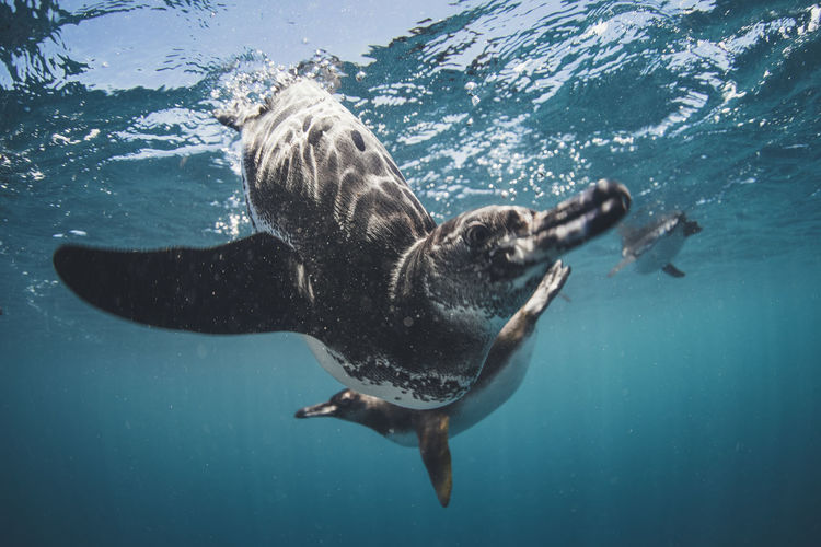 Underwater Sea Water Animal Wildlife Animal Themes Animals In The Wild Animal Swimming Marine Nature Sea Life One Animal Aquatic Mammal Mammal UnderSea Full Length Whale No People Outdoors