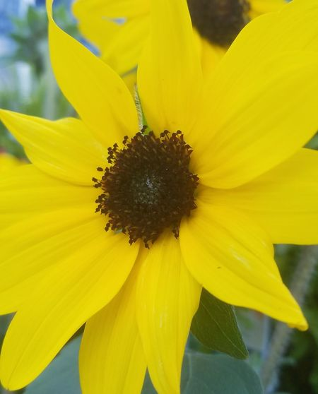 Close-up of an Ornamental Sunflower Flower Yellow Petal Fragility Flower Head Plant Sunflower Nature Freshness Botany Beauty In Nature Uncultivated Close-up Growth Blossom No People Springtime Outdoors Day Pollen Growth Beauty In Nature Sunflower Ornamental Sunflower Nature Paint The Town Yellow