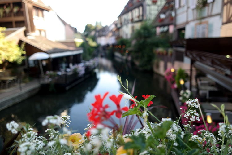 Close-up of flowers against canal amidst buildings in city