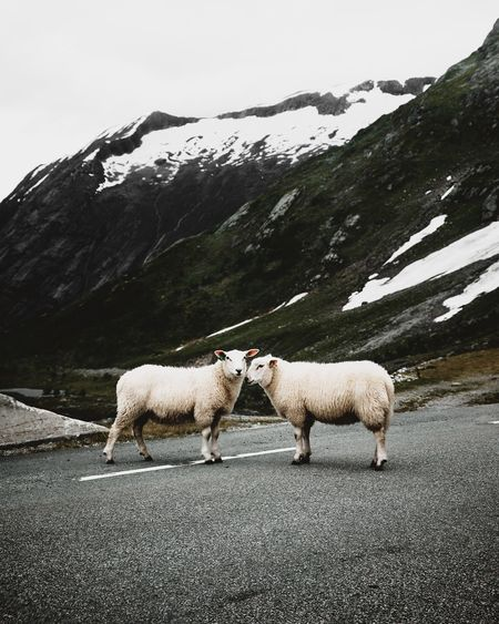 Sheep on the road in Norway. Nature Sheep Norway Nature Nature_collection Nature Photography Naturelovers Landscape Animal Animal Themes Animals In The Wild Animal Wildlife Wildlife Wildlife & Nature Roadtrip Road Mountain Mountain Range Outdoors Winter Snow Travel Travel Destinations