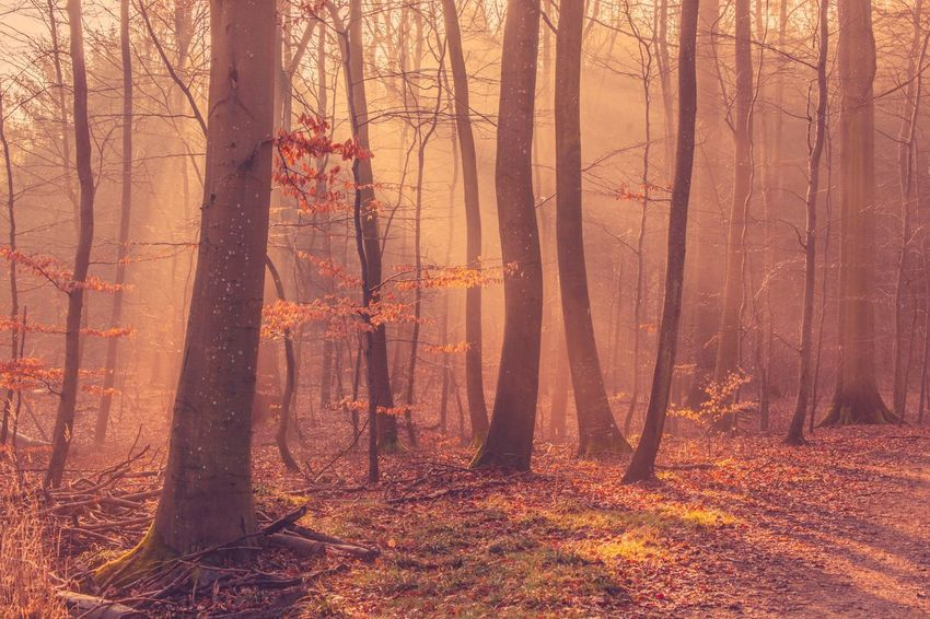 Sun shining through the trees in the fall and early morning Forest Tree Nature Plant Trunk Tree Trunk Land Non-urban Scene Scenics - Nature Plant Part Beauty In Nature Change Orange Color Outdoors Autumn Sunlight Tranquility WoodLand No People Leaf
