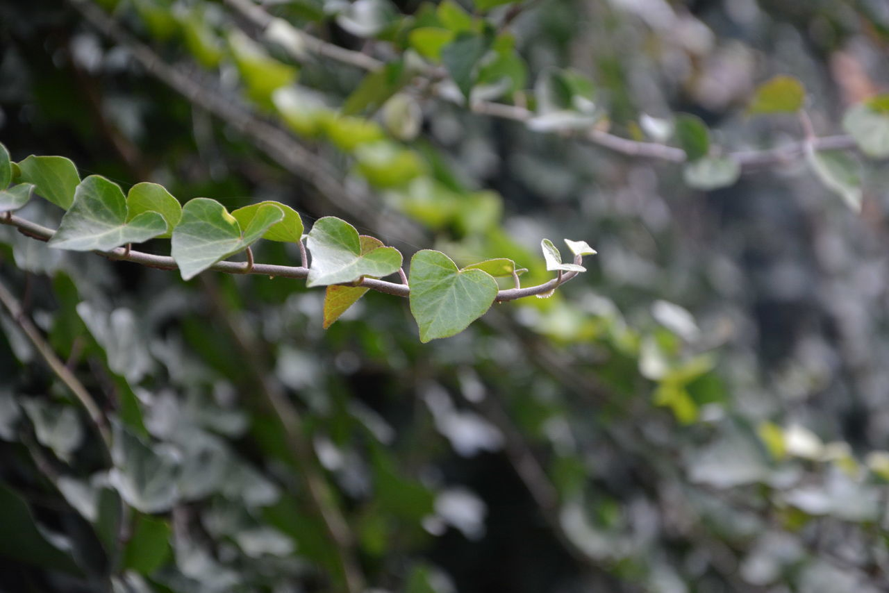 leaf, plant, growth, nature, green color, day, fragility, no people, close-up, outdoors, focus on foreground, beauty in nature, freshness