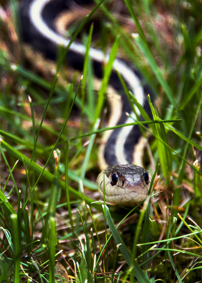 Snake slithering in the grass Hiding In Plain Sight Reptile Snake Animal Themes Animal Wildlife Animals In The Wild Close-up Day Grass Hiding Hiding In The Grass Nature No People One Animal Slithering Snakes In The Grass Wildlife