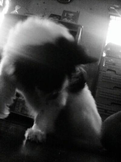 Doglover OriginalPhoto Doglife Shih Tzu Spitz Wednesdayrandomness Fortheloveofthedoggie