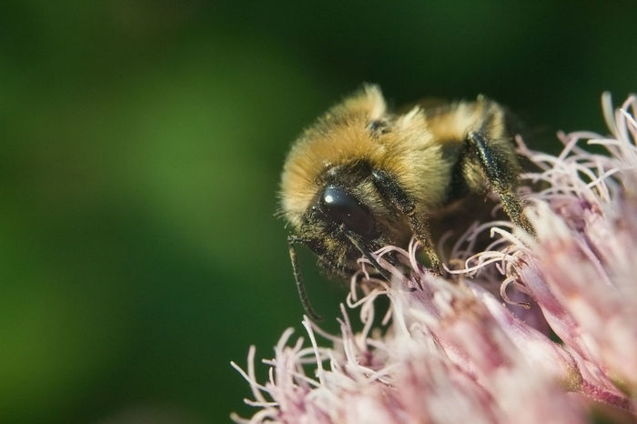 Bumblebee Flowers,Plants & Garden Nature Photography Animal Themes Animal Wildlife Animals In The Wild Beauty In Nature Bee Close-up Day Flower Flower Head Flowers, Nature And Beauty Garden Garden Photography Insect Macro Nature No People One Animal Outdoors