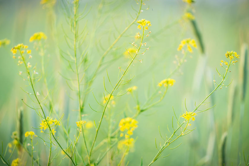 am Feldrand Beauty In Nature Close-up Day Field Flower Flower Head Flowering Plant Focus On Foreground Fragility Freshness Green Color Growth Land Landscape Nature No People Outdoors Plant Selective Focus Yellow
