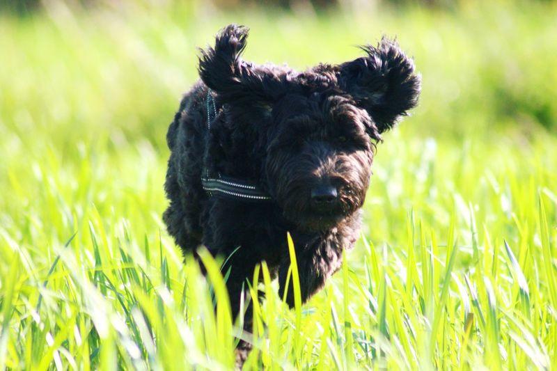 Black dog on a field