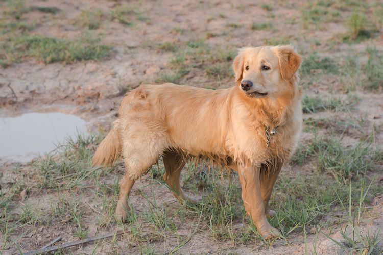 happy, muddy, and wet golden retriever in the outdoors Adventure Animal Ball Cooling  Countryside Cute Dirt Dirty Dog Domestic Forest Fun Golden Happy Heat Hike Look Mammal Messy Mud Muddy Nature Outdoor Outdoors Outside Park Paws Pet Play Playful Playing Portrait Puddle Pure Retriever Road Sitting Vertical Water Wet Yellow Domestic Animals One Animal Animal Themes Pets Land Vertebrate Standing Looking At Camera