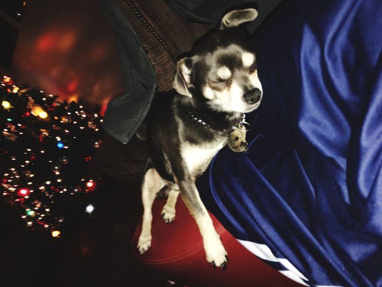 Dog Pets Aldo The Apache Chiuahua Chiuaua Christmas Sleeping