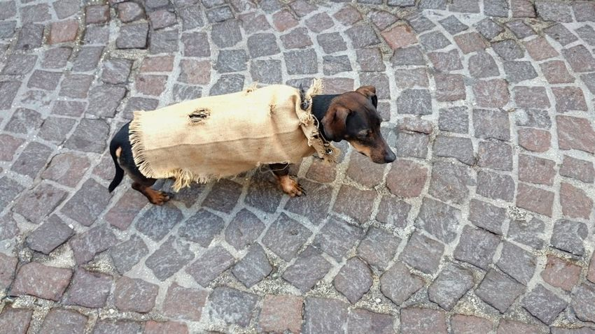 Dog Life Dog Dressing A Shirt Dog Of The Day Dog Dog❤ Dogs Of EyeEm Dogs Pet Animal Themes
