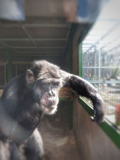 our cousin Vinny Chimpanzee Smartphone Photography Save The Nature Rescued Monkey Pets City Portrait Close-up Ape Monkey