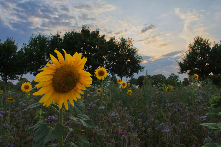 Sunset Plant Flower Flowering Plant Growth Beauty In Nature Yellow Freshness Fragility Vulnerability  Flower Head Sky Nature Cloud - Sky Petal Field Inflorescence Sunflower No People Land Close-up