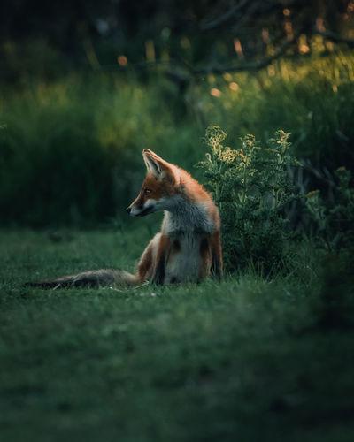 Fox sitting in a field