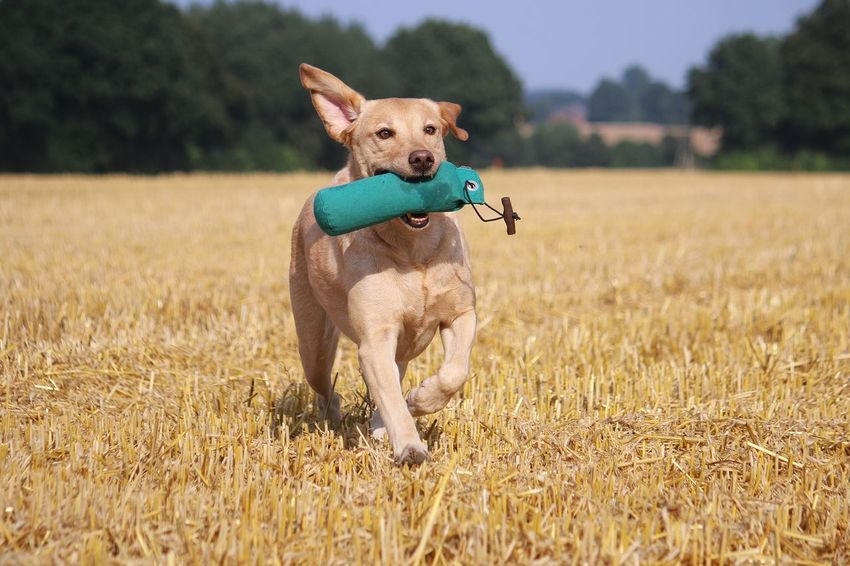 labrador is running on a stubble field with a dummy in the mouth Labrador LabradorRetriever Playing With The Animals Summertime Active Lifestyle  Animal Themes Day Dog Domestic Animals Dummy Field Labrador Retriever Mammal Nature One Animal Outdoors Pets Portrait Running Water Sky Sports Stoppelfeld Stubble Field Stubblefield Tree