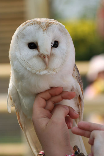 Cropped image of hand holding barn owl