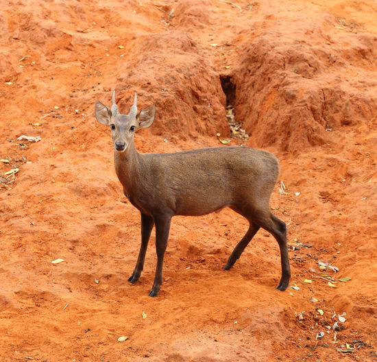 deer standing on the red dry soil Deer Wildlife Hunting Animal Nature Mammal Wild Buck Whitetail Fawn Tail Stag Baby BIG Roé Tailed Portrait Red Game Brown Grass White-tail White-tailed Clay Soil Sand Zoo Dry Arid Rainless Dried Standing Field Season  Young Natural Female Summer