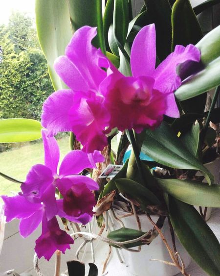 Orchidee Plant Flower Flowering Plant Pink Color Growth Beauty In Nature Freshness Petal Close-up Nature No People Day Purple Leaf Plant Part Blossom