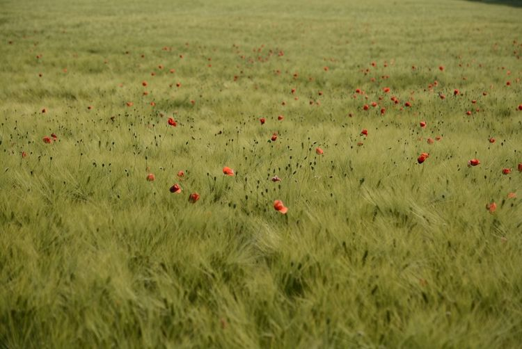 Poppies In Cereal Field Green Color Poppies Field Agrarwirtschaft Poppy Field Flowers Wonder Of Nature Wonderful Nature Nature Collection Enjoying The Moment Nikon_photography_ So Beautiful View The Great Outdoors - 2017 EyeEm Awards Red Poppy Flower Eyeem4photography EyeEm Gallery Hello World Baden Austria Nature Capture The Moment Enjoy The Nature Perfect Shot Great View Cornfield Love The Nature Colour Your Horizn EyeEmNewHere