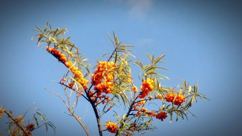 Tree Sky Low Angle View Fruit Outdoors Nature Day No People Clear Sky Plant Blue Freshness Close-up Sunshine Urlaub Urlaub Auf Borkum Idyllic Sun Blauer Himmel Und Sonnenschein Sanddornsträucher Sanddorn