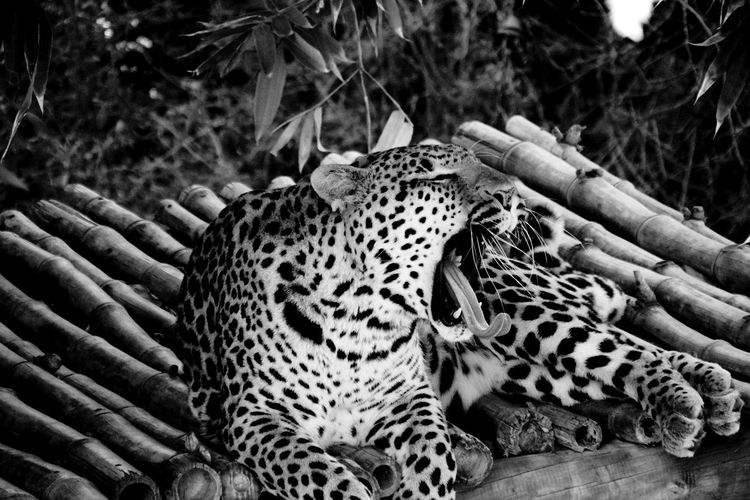 Animal Markings Big Cat Close-up Cropped EyeEm Best Shots EyeEm Nature Lover Focus On Foreground Leopard Mammal Natural Pattern Original Experiences Relaxation Selective Focus Wild Animal Wildlife Wildlife & Nature Wildlife Photography Yawning Yawning Cat Monochrome Photography My Year My View The Great Outdoors - 2017 EyeEm Awards Black And White Friday