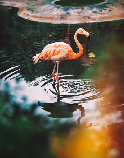 Animal Animal Neck Animal Themes Animal Wildlife Animals In The Wild Bird Day Drinking Flamingo Freshwater Bird Lake Nature No People One Animal Outdoors Reflection Rippled Selective Focus Vertebrate Water Waterfront