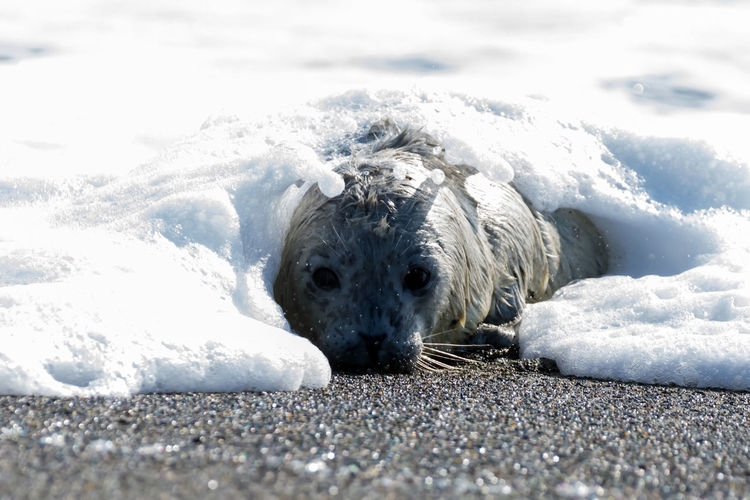 Newborn Baby Seal Adorable Animal Babies Animal Photography Animal Themes Animal Wildlife Animals In The Wild Beachphotography Curious Cute Day Mammal Nature Newborn Seal Pup No People Ocean Outdoors Seal Seal Pup Sealife Surf Wildlife & Nature Wildlife And Nature Wildlife Photography Wildlife Photos Wildlifephotography