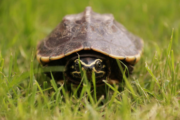 Close-up portrait of turtle on grassy field