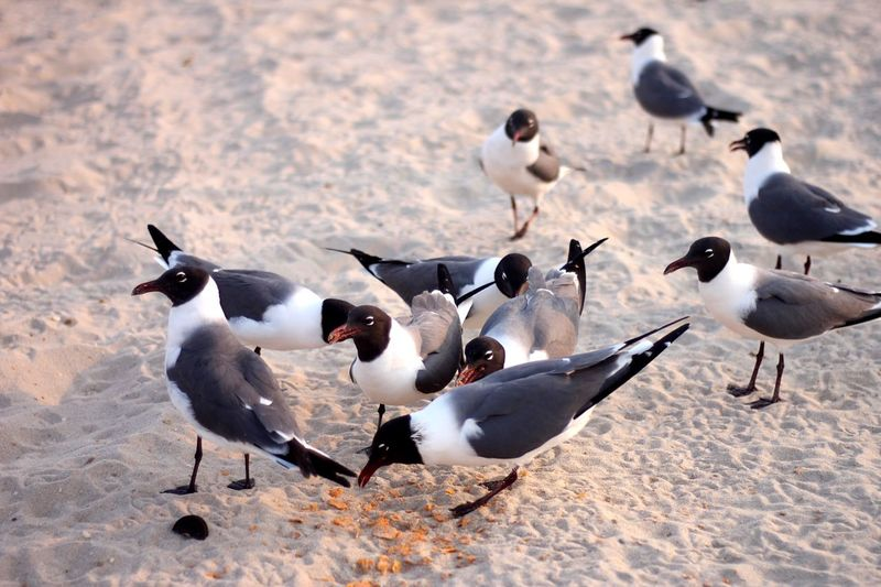 Black headed seagulls eating crumbs on sand Crumbs Scavenger Beach EyeEm Selects Bird Animal Themes Animals In The Wild Animal Wildlife Animal Group Of Animals Vertebrate Large Group Of Animals Nature Land No People Day High Angle View Outdoors Sunlight Sand Flock Of Birds