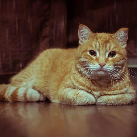 кот рыжыйкот Orange Cat оранжевый Animals котэ котики Animal_collection Animal Colorful Russia Chelyabinsk