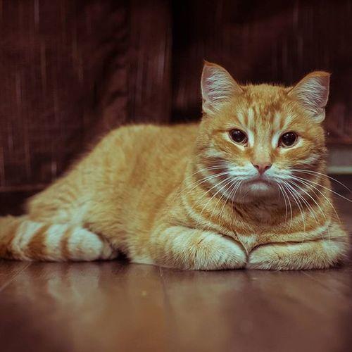 кот рыжыйкот