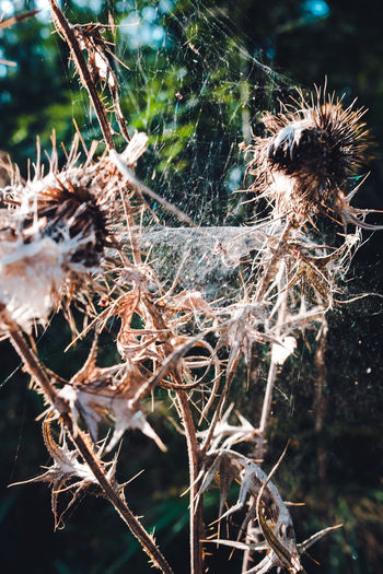 Close-up of dried spider web on plant