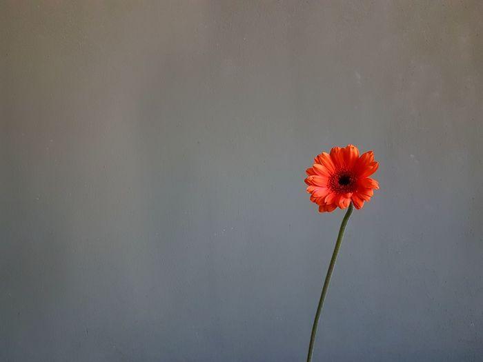 Close-up of red flower against orange sky